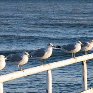 Row of gulls